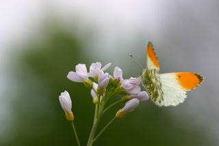 Oranjetip. Foto Natuurmonumenten